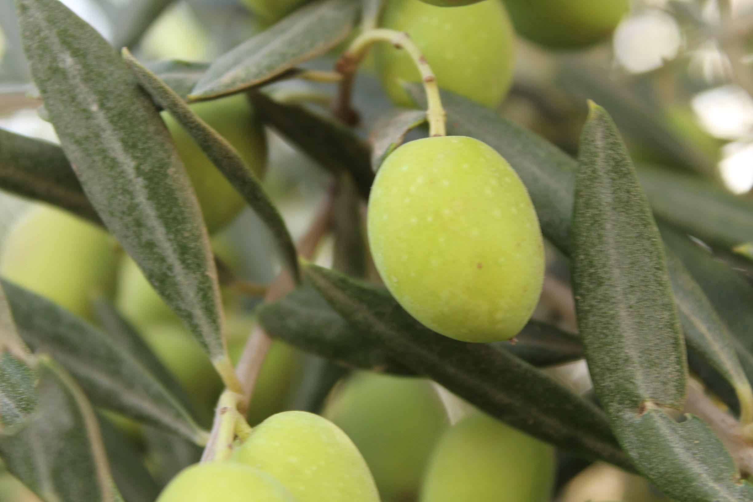 vente des olives